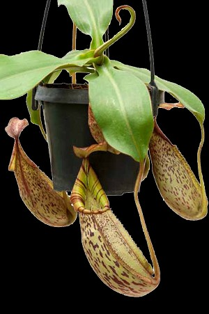Nepenthes spectabilis 'Giant' x veitchii 'Bareo Red Striped' - New SEED-GROWN Hybrid with an AWESOME PERISTOME! Large Hanging Basket