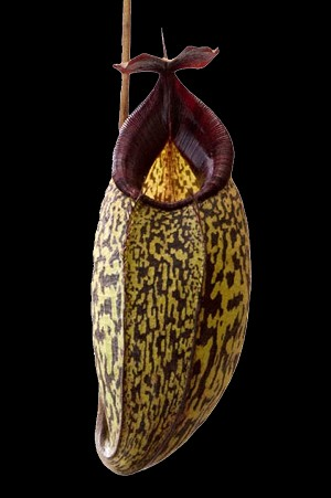 Nepenthes spectabilis 'Giant' x aristolochioides - Medium Potted - single select clone with BIZARRE pitchers! BE-3663
