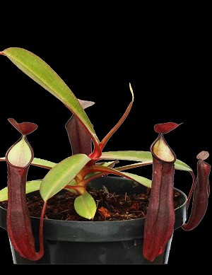 Nepenthes ramispina 'Dark' x reinwardtiana 'Tambunan Road'  Large Hanging Basket - NEW HYBRID, and ONLY A FEW AVAILABLE! BE-3711