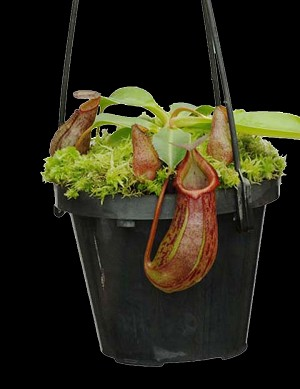 Nepenthes burkei x robcantleyi 'King of Clubs' - Assorted clones - BE-3752