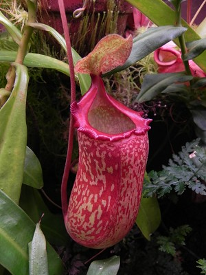 Nepenthes 'Red Leopard'  (maxima x ventricosa) - LargeHanging Basket - NEW ITEM FROM CUTTINGS, and ONLY ONE AVAILABLE!