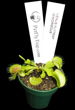 Venus Flytrap 'Ginormous' - RARE COLLECTOR'S PLANT, and NEW LOWER PRICE!!