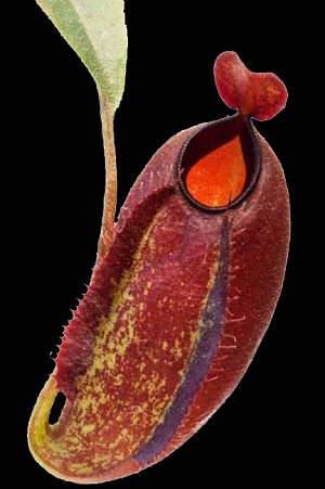 Nepenthes ampullaria 'Brunei Red' x aristolochioides - WICKED HYBRID!! - BE-3658