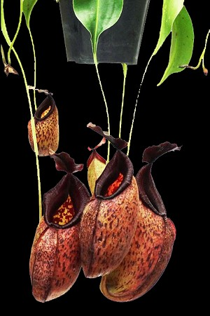 Nepenthes aristolochioides x robcantleyi 'King of Spades' - Medium Hanging Basket. NEW HYBRID, and ONLY A FEW AVAILABLE!!