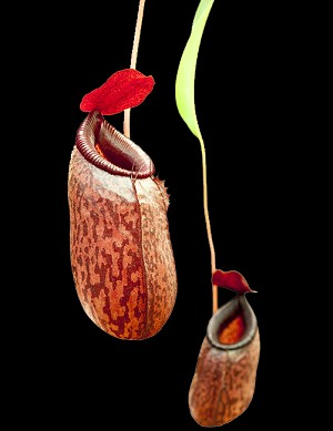 Nepenthes aristolochioides x ventricosa - Medium Potted - BE-3447