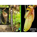 Nepenthes vogelii x (spathulata x mira) - NEW ITEM - Medium Potted