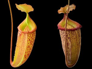 Nepenthes talangensis x sibuyanensis 'Assorted Clones' - Medium Potted - BE-3641