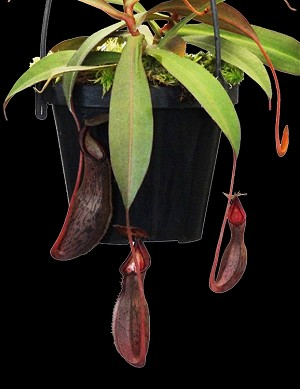 Nepenthes ramispina x spectabilis 'Giant' - assorted clones - Medium Potted