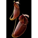 Nepenthes spathulata x gymnamphora - SEED-GROWN RED-PITCHERED FORMS!! - Large Hanging Basket - BE-3791