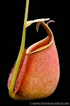 Nepenthes bicalcarata 'Brunei Orange' - Medium Potted - ONLY A FEW AVAILABLE!!