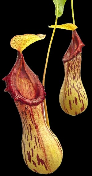 Nepenthes burkei 'Halcon' - Medium Potted - NEW LOWER PRICE!! BE-3254