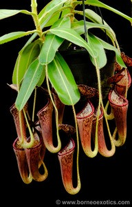 Nepenthes glandulifera - RARE SEED-GROWN SPECIES! - Medium Hanging Basket