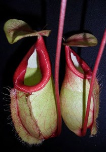Nepenthes ventricosa x mirabilis var. globosa - Medium Hanging Basket, and ONLY TWO AVAILABLE!!