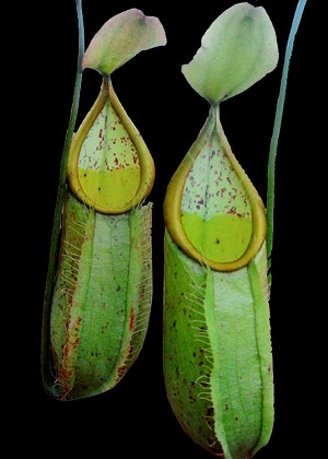 Nepenthes hirsuta - Medium Potted