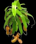 Nepenthes ventricosa 'Red' - Medium Hanging Basket