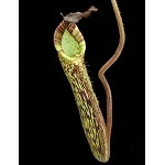 Nepenthes fusca - FLARED PERISTOME - Medium Potted