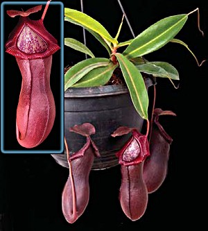Nepenthes x billbaileyi - NEW PLANT!! - Medium Potted - NEW LOWER PRICE!!