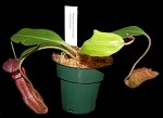 Nepenthes petiolata x boschiana - New hybrid! - Large Hanging Basket