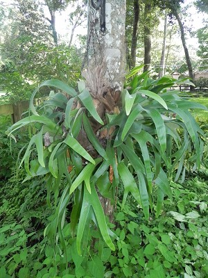 Staghorn Fern - Platycerium bifurcatum - Medium Mounted