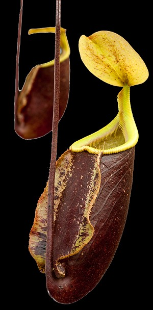Nepenthes 'Suki' (rafflesiana x sibuyanensis) - Medium Potted - 10-PACK - SAVE 25%