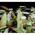 Nepenthes rafflesiana 'assorted clones' - Medium Potted