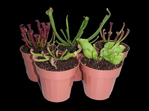 Sarracenia Lover's Set