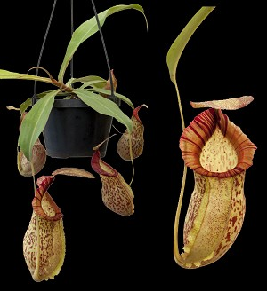 Nepenthes spathulata x spectabilis 'Giant' - SEED-GROWN PLANTS - Large Hanging Basket