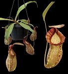 Nepenthes spathulata x spectabilis - Medium Hanging Basket