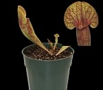 Sarracenia x catesbaei - Hybrid Pitcher Plant, assorted clones