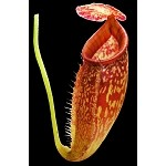 Nepenthes talangensis x glandulifera - NEW HYBRID! - Medium Hanging Basket