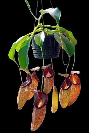 Nepenthes talangensis x robcantleyi - NEW HYBRID!! Medium Hanging Basket