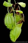 Nepenthes spathulata 'Best Clone' - Green, flaring pitchers, and easy to grow! BE-3175