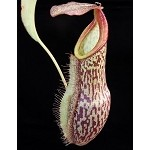 Nepenthes spathulata x (lowii x tentaculata) Medium Potted - New hybrid! BE-3732