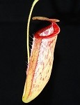 Nepenthes glandulifera x tenuis - Medium Potted - NEW HYBRID! BE-3891