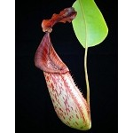 Nepenthes (veitchii x lowii) x fusca - BE-3937