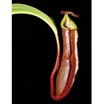 Nepenthes ramispina x robcantleyi - Medium Potted - LARGE, dark pitchers, and ONLY A FEW AVAILABLE! BE-3939