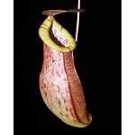 Nepenthes eustachya x tenuis - NEW HYBRID! BE-3971