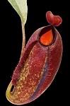 Nepenthes ampullaria 'Brunei Red' x aristolochioides - Medium Potted - WICKED HYBRID!! - BE-3658