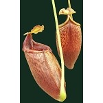 Nepenthes mira 'Palawan, Philippines' - assorted clones - Medium Potted