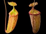 Nepenthes talangensis x sibuyanensis 'Assorted Clones' - Medium Hanging Basket - BE-3641