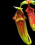 Nepenthes maxima 'Gunung Lumut' x xtrusmadiensis - SUPERB HYBRID!! - BE-3709