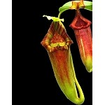 Nepenthes maxima 'Gunung Lumut' x xtrusmadiensis - Medium Potted - BE-3709