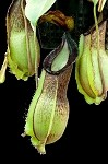 Nepenthes spathulata x hamata 'Gunung Lumut' Medium Hanging Basket - RARE HYBRID, and ONLY A FEW AVAILABLE!!