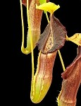 Nepenthes singalana 'Masurai form' - assorted clones - Medium Potted - BE-3761