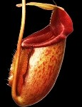 Nepenthes rajah x mira 'Cleopatra's Needle 'BEST CLONE' - BE-3788