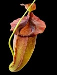 Nepenthes spathulata x jacquelineae 'Assorted Clones' - BE-3883 - Medium Hanging Basket