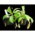 Nepenthes 'Unknown Hybrid'  - Large Hanging Basket