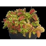 Venus Flytrap 'Fused Tooth' - RARE CULTIVAR, and ONLY ONE AVAILABLE!! - Small Potted