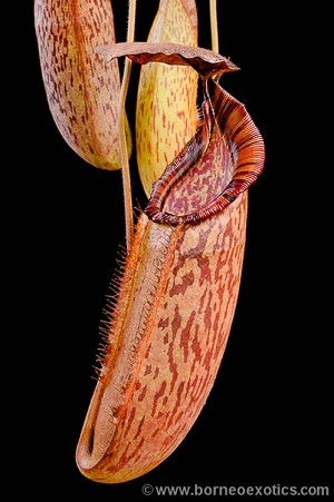Nepenthes (veitchii x lowii) x spectabilis - Medium Potted