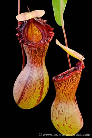Nepenthes ventricosa 'Madja-as, Single Best Clone' - BE-3278